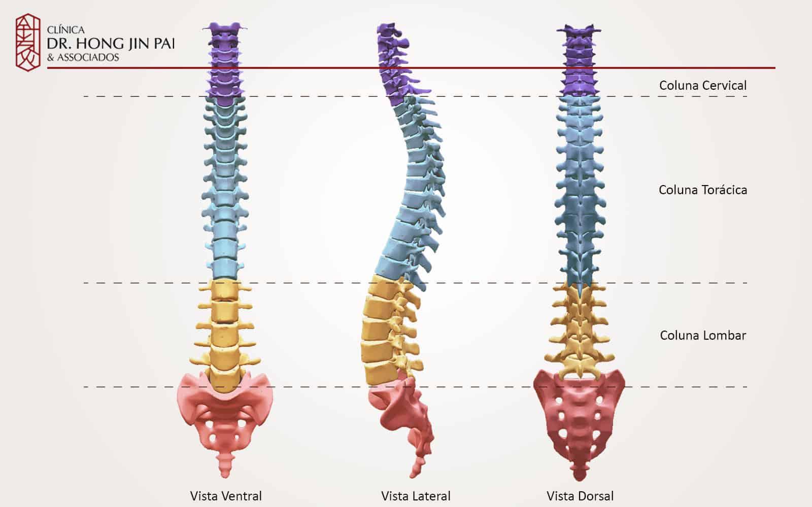 Divisões e curvaturas da coluna vertebral